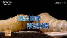 [每日农经]昆虫菜单:你相信吗?一条虫能换一斗米 20160824来源:央视网2016年08月24日 22:36