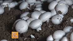 牛粪种植双孢菇 20160826来源:央视网2016年08月26日 20:20