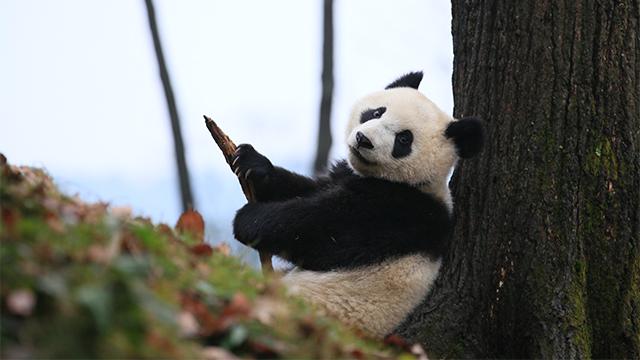 《熊猫TOP榜》第三十一期:新一任TOP榜主诞生