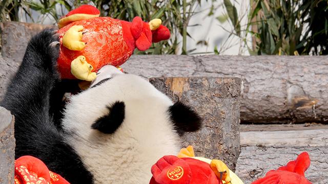 《熊猫大萌星》第99期:快醒醒!演出要开始啦!