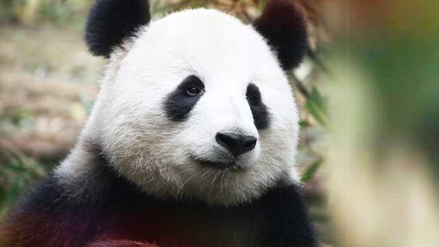 《熊猫百科全说》第十期:我们需要你的守护