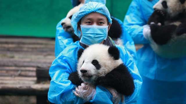 """《熊猫快讯》23只""""熊猫天团""""给全体人民拜年"""