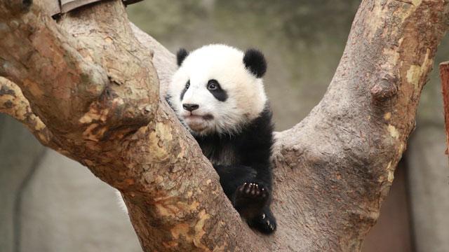 《特别节目》拥抱我们共同的家-大熊猫国家公园