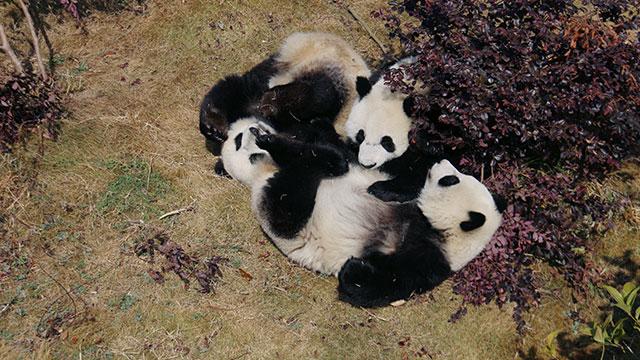 《熊猫TOP榜》第三十九期:2017届 群雄(熊)争霸赛