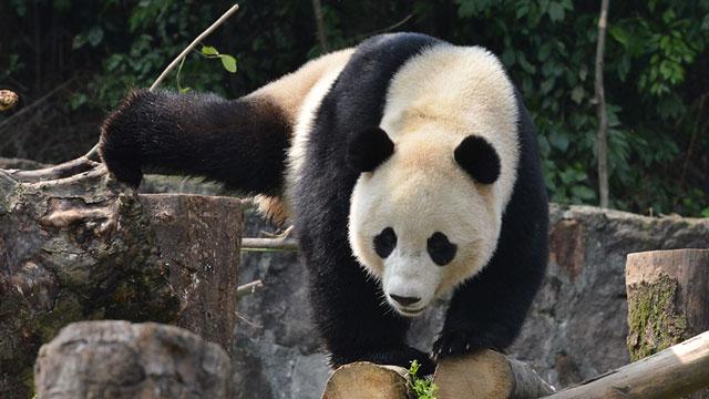 《熊猫大萌星》第108期:宝宝成长记