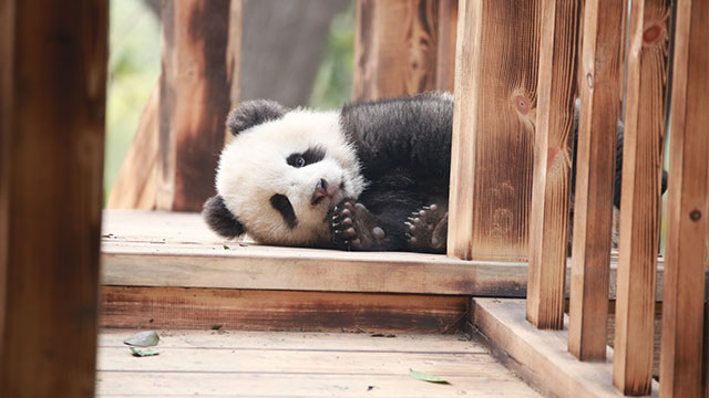 《熊猫那些事儿》第三季第4期:成家班正式诞生艺术家