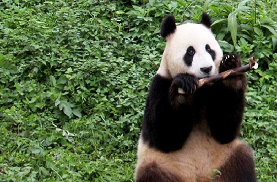 《熊猫大萌星》 第111期:萌宝要出国