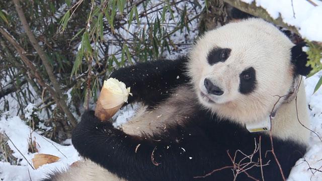 """《熊猫快讯》揭秘大熊猫野外引种试验的主角--大熊猫""""草草"""""""
