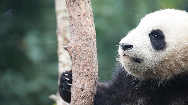 《熊猫那些事儿》第三季第9期:官方辟谣:哪有大熊猫叫铁柱的