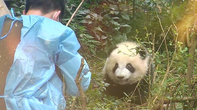 """《熊猫档案》成长外挂第三期:有一种爱叫做""""奉黄传奇"""""""