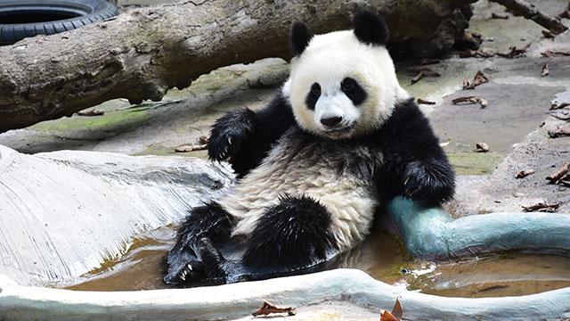 《熊猫TOP榜》第二季第2期:夏天和泡澡更配哦