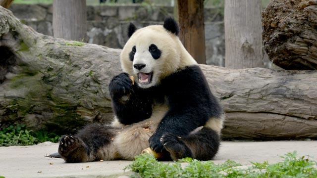 《在现场》大熊猫舌尖上的窝窝头
