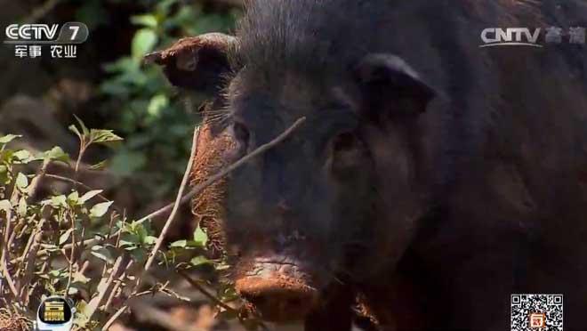 每日农经:西双版纳小耳猪养殖效益好
