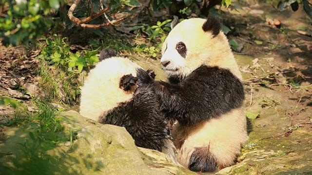 《熊猫那些事儿》第三季第20期:爱要大声说出来