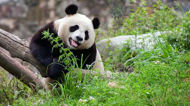 《熊猫TOP榜》第二季第十一期:一起惹的祸,妹妹背黑锅
