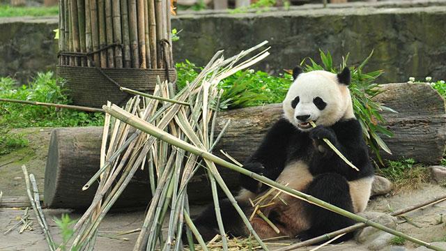 """《在现场》大熊猫生日季--超级明星""""宝宝""""的生日趴!"""