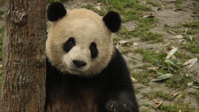 《我是熊猫》第40期:离别不结束