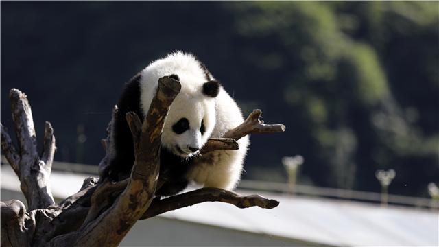 《熊猫TOP榜》第二季第二十三期:功夫熊猫养成记