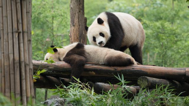 《在现场》探访在蝶泉园度假的网红大熊猫们