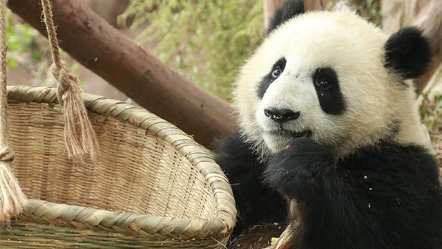 """《熊猫档案》认猫插件第十一期:斧头山著名""""腹黑澡星"""""""