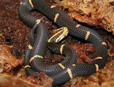Taking a glance of Uganda's most poisonous snakes - CCTV News - CCTV