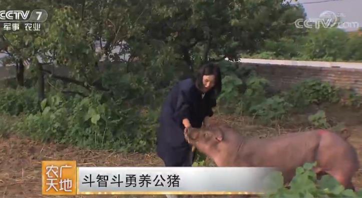 斗智斗勇养公猪 20180821