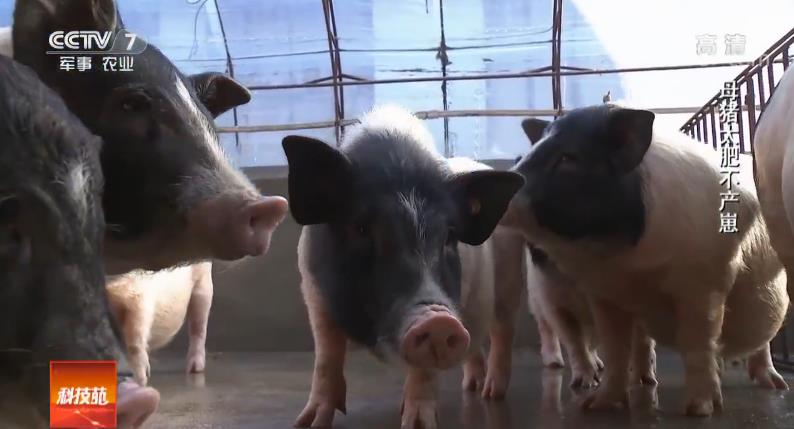 [科技苑]香猪慢养肉更香 20190110