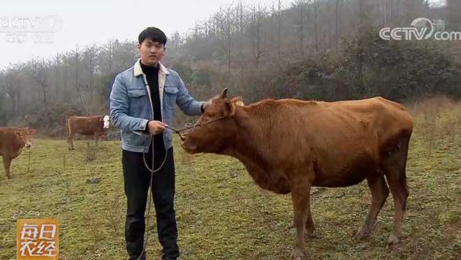 [每日农经]适合做牛干巴的土黄牛 20190116