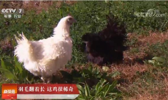 [科技苑]羽毛翻着长 这鸡很稀奇 20190123