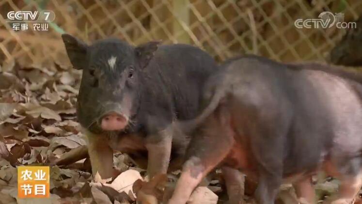 [科技苑]嚼槟榔的五脚猪 20190507