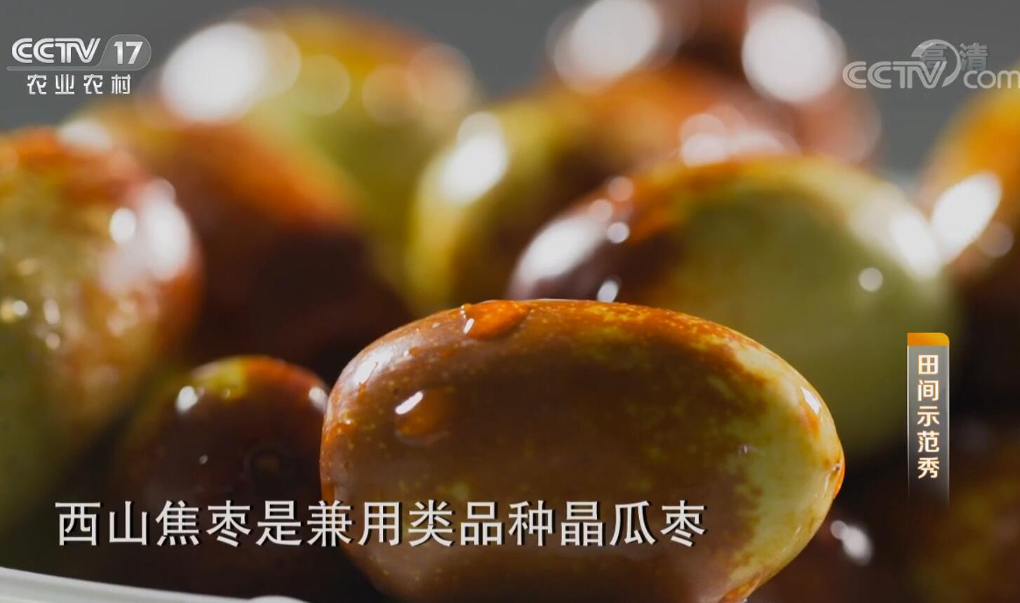 《田间示范秀》 20191015 西山焦枣的突围