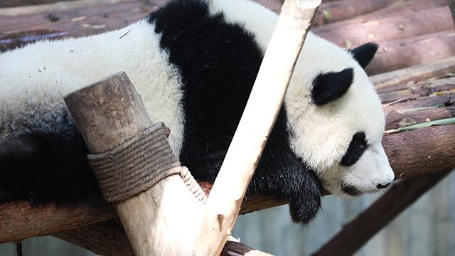 四川崇州红外相机拍到野生大熊猫标记行为
