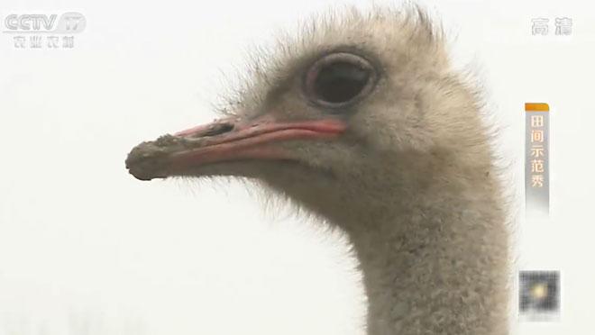 《田间示范秀》 20200109 鸵鸟的成长烦恼