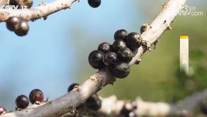 """《田间示范秀》 20200219 长在树干上的""""葡萄"""""""