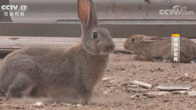 《田间示范秀》 20200228 肉兔产仔的烦恼