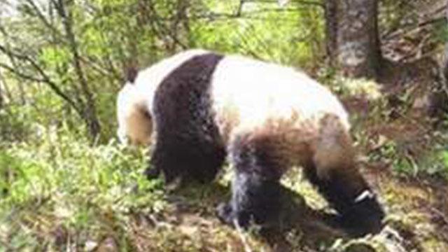 甘肅白水江保護區工作人員偶遇野生大熊貓