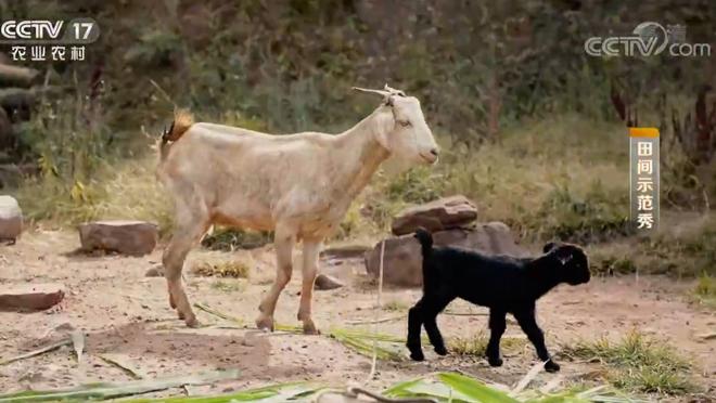 《田间示范秀》 20200407 养羊种果有门道