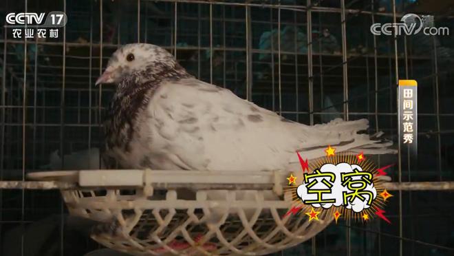 《田间示范秀》 20200409 精养鸽子好赚钱