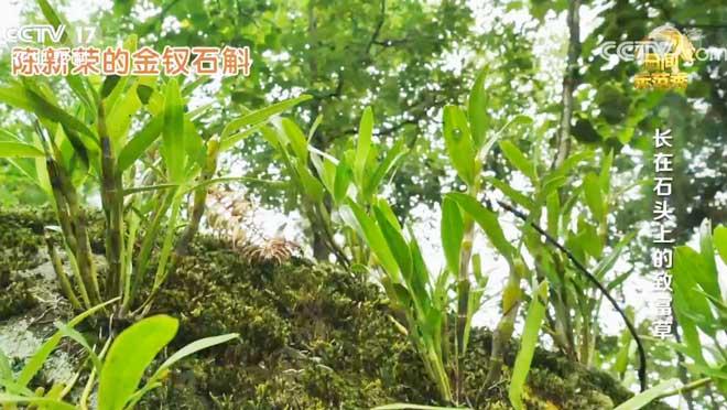 《田间示范秀》 20200702 长在石头上的致富草