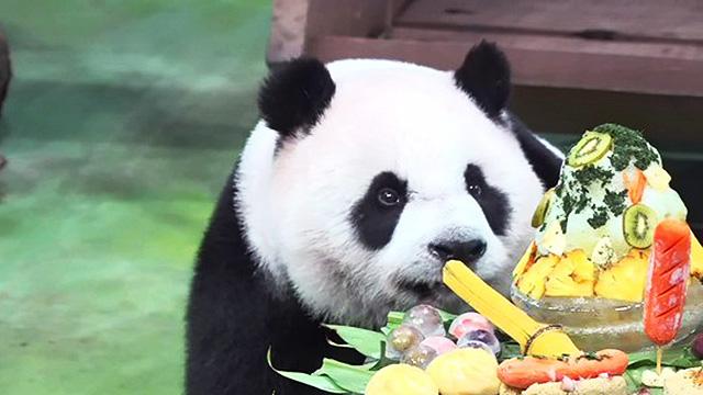 """大熊貓""""圓仔""""在臺北動物園迎來7歲生日"""