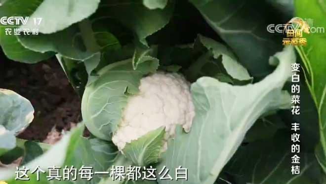 《田间示范秀》 20200713 变白的菜花 丰收的金桔
