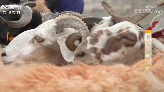 《攻坚日记》 20200731 牧羊生活的去与留