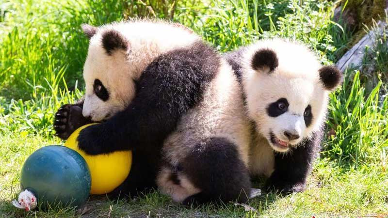 柏林動物園為大熊貓雙胞胎慶生