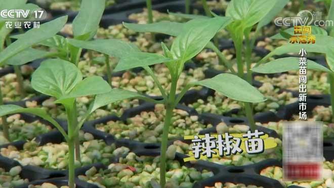 《田间示范秀》 20200928 小菜苗闯出新市场