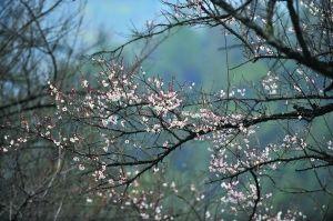 温暖的南国迎来了梅花绽放的时节。记者何波摄