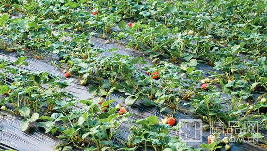轻松出发 京郊草莓采摘多组合休闲体验