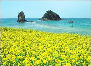 4月的济州岛油菜花开_济州岛刻骨铭心的爱情_乐途旅游网