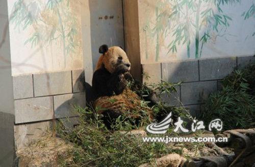 """身穿""""黄衣""""的大熊猫,面部表情很无奈"""