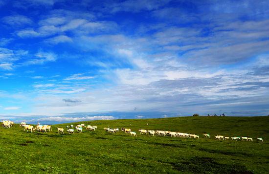 成群的牛羊