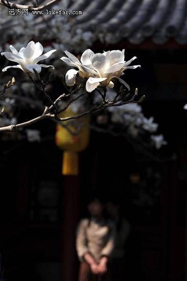 春到大觉寺 作者:向日葵